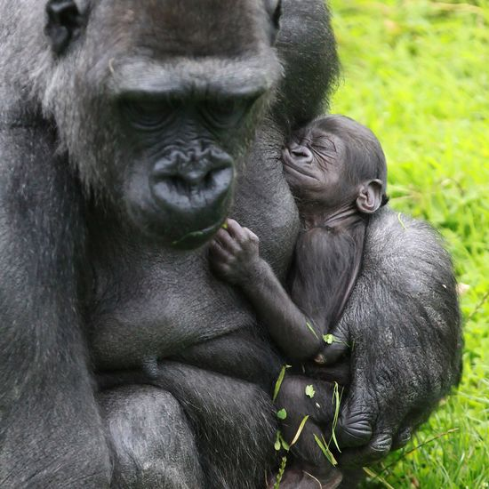 """A """"Little Miracle"""" arrives at Belfast Zoo's Gorilla House! Meet baby Baako and see more photos at ZooBorns.com and at www.zooborns.com/..."""