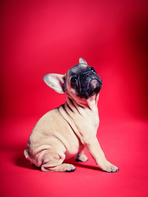 {Luna on Red} that is one adorable lil Frenchie!