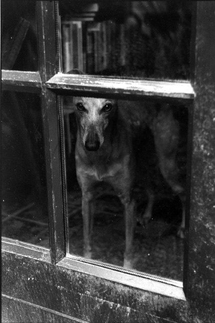 Whippet at the window.