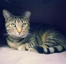 Itty 16526 is an adoptable Domestic Short Hair Cat in Prattville, AL. ? Itty is a 2-year old, declawed, spayed female tabby. She is content sleeping in her little bed, but also likes to play and be pe...