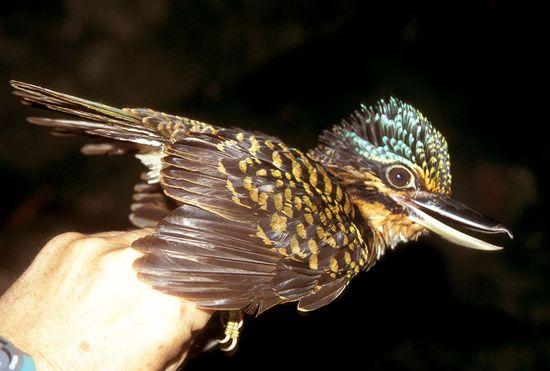 Hook-billed Kingfisher. Papua New Guinea