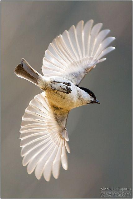 Marsh Tit - Gorgeous Wings!