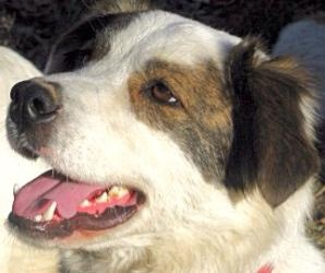Max is an adoptable Border Collie Dog in Andover, MA. **Please read Max's entire profile, which includes a link to the adoption application. Thank you!** Max is a Border Collie / Australian Shepherd m...