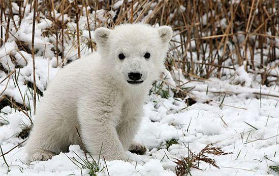 polar bear cub :)