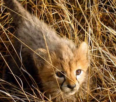 cheetah cub.