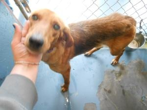 #NCAROLINA #URGENT ~ Glimmer ID 22792 is an #adoptable 40bs Hound Dog in #Oxford.  We are a very small shelter serving a very large county - Glimmer has hope that you will love & #adopt her as a member of the family into the safety of your home. GRANVILLE COUNTY ANIMAL SHELTER  5650 Cornwall Road   #Oxford  NC 27565   mailto:shelter@gr...   Ph 919-693-6749