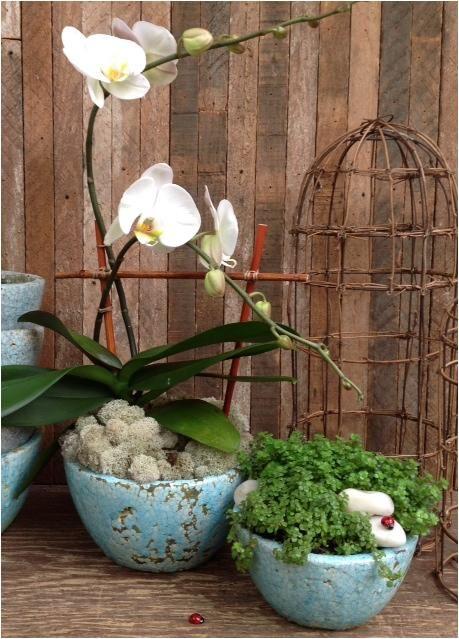 kwiaty doniczkowe-storczyk