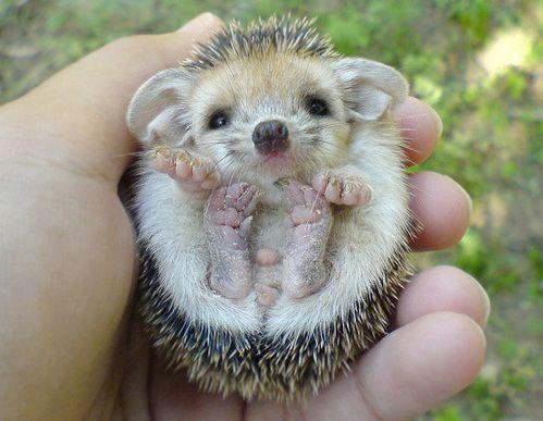 baby hedgehog ?