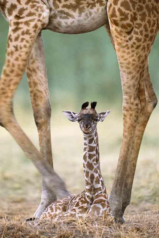 new giraffe
