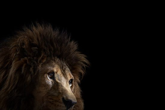Incredible Studio Portraits of Wild Animals by Brad Wilson - Lion