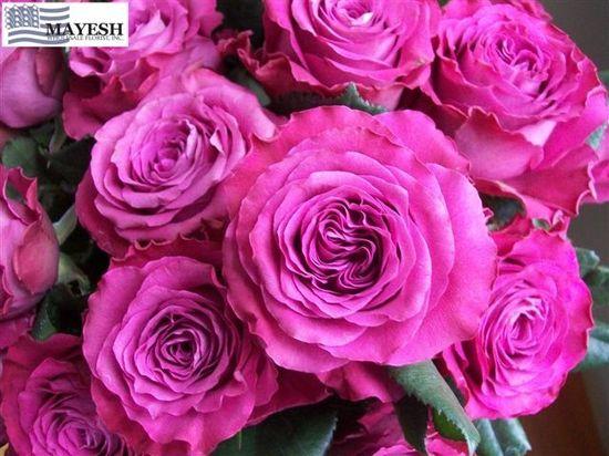 Garden Rose Precious Moments - purple garden rose