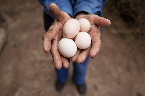 Zhang Baoliang, 70, holds eggs from his chicken. These eggs are extremely important as they provide nourishment for his #family and provide extra #income! #HeiferChina