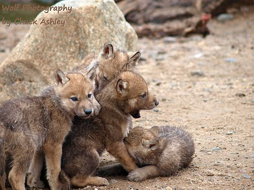 Wild Wolf Pups-5 weeks old