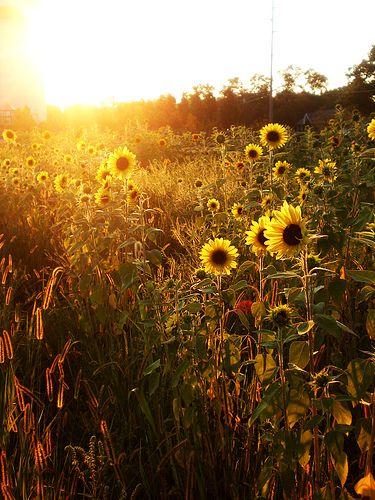 Sunflower field