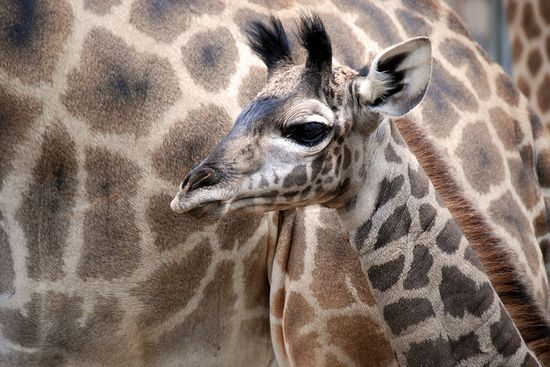 San Diego zoo. Latest giraffe baby at 18 days old