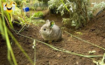 baby animals - Columbia Basin pygmy rabbit