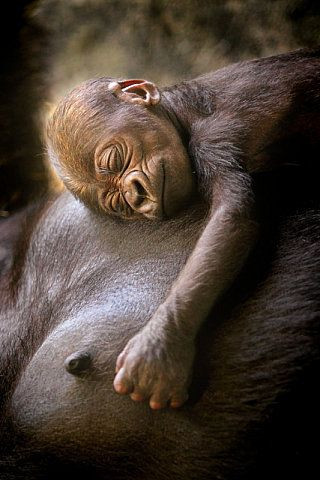 Nine Days Old chimp