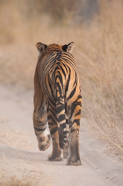 Tiger in the wild...