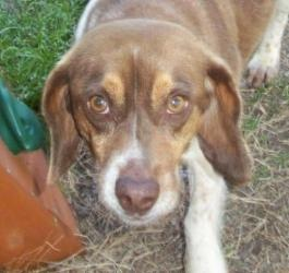 TEXAS ~ Bob is an #adoptable #Beagle #Dog in #Bedford, #TEXAS. Bob is a 2 yo Beagle mix. He is very friendly and loves children and other dogs. He is housebroken, not a barker or a digger. He would make a great addit...