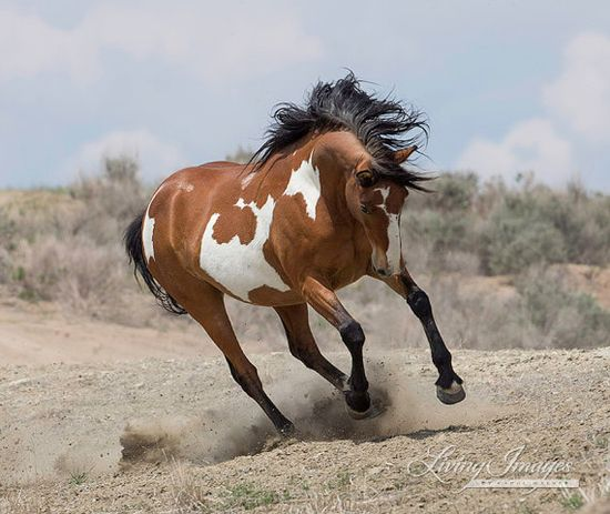 Wild Mare Runs  Fine Art Wild Horse Photograph by Carol Walker www.LivingImagesC...