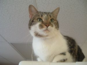 'Milo' is an adoptable Domestic Short Hair Cat in Providence, RI. 'Milo' is a very talkative large cat who loves attention. Loves to play with toy mice. Has to be in a home without other cats. Milo is...