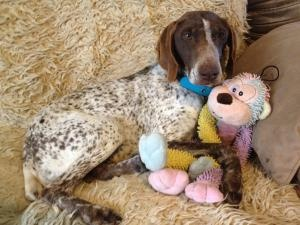Sophie - is an #adoptable #GermanShorthaired #Pointer #Dog in #Fayetteville, #ARKANSAS. Courtesy Listing: Owner needs to rehome Sophie, a 6 year old GSP. 'She is quiet and gentle in the house an...