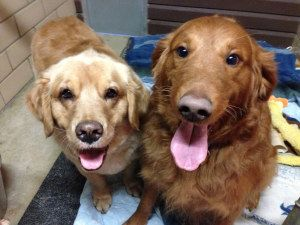OHIO ~ meet this BONDED PAIR of #adoptable #GoldenRetriever #dogs. These are Joey - 6 yrs (female/blond) & Cinnamon - 4 yrs (red/male) Their owner passed away. They are spayed & neutered, current on vaccinations, potty trained, get along with other dogs, cats & kids. Joey is hypothyroid, so she requires a small, inexpensive pill every day. They are looking for a forever home together and are at Golden Treasures Golden Retriever Rescue, Ohio.