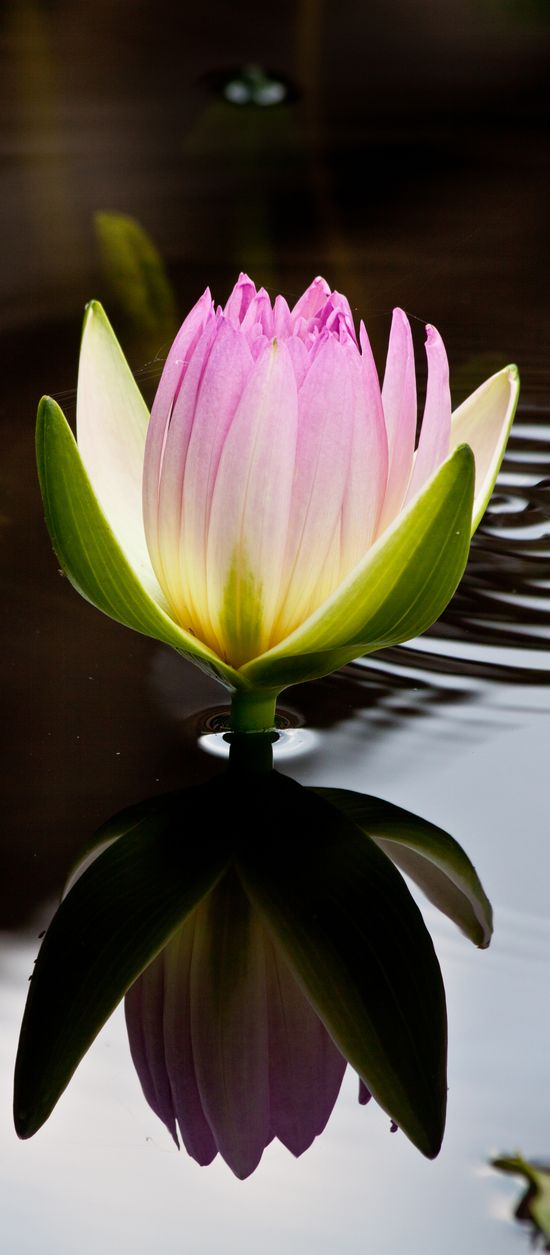 Nymphaea 'Peach Blow', tropical water lily at Longwood Gardens.