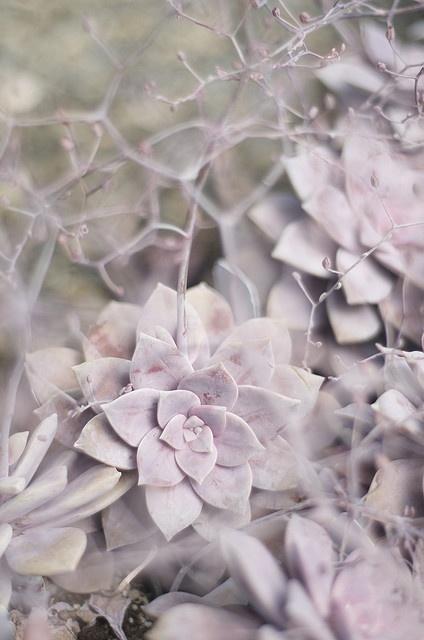 Dusty Pink-Purple Succulent