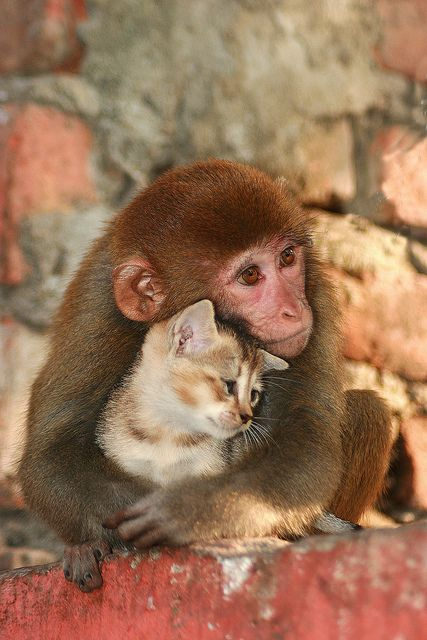 A monkey sharing her love with a kitten