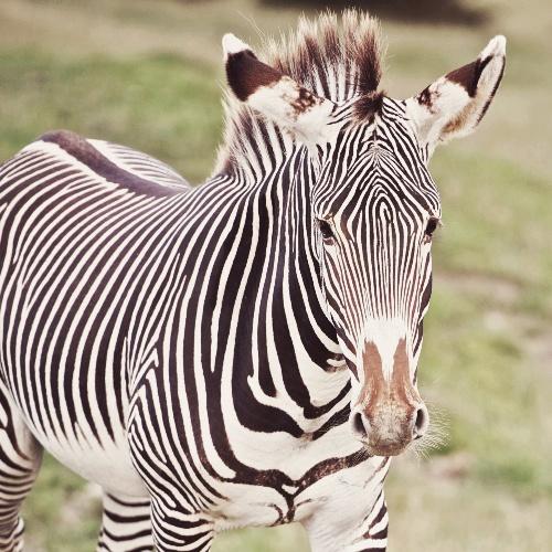 Zebra Dusk Safari Port Lympne Wild Animal Park - Rebecca Douglas Photography