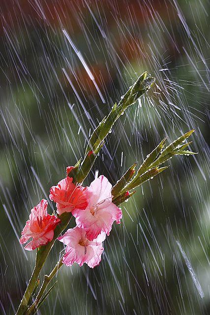 Rain on the Gladiolas