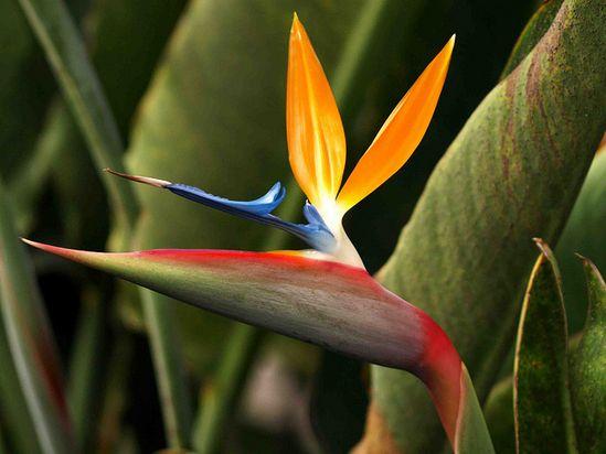 Madeira Bird of Paradise Flower