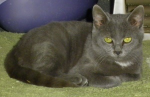 Aristocat is an adoptable Domestic Short Hair-Gray Cat in Lincolnton, NC. At Lincoln County Animal Services, there is an $85 dollar adoption fee. This fee covers the following services for your pet: *...