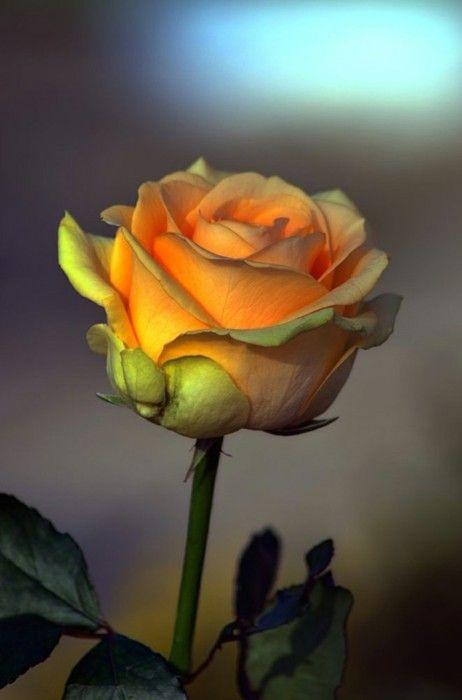 Apricot Colored Rose - Beautiful !