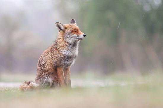 little fox