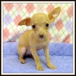 Kelly is an adoptable Chihuahua Dog in Glendale, AZ. DOB: 3/15/13 Spayed Female Breed: Chihuahua Weight: 2.0 lbs. Hello, my name is Kelly! I was surrendered along with my sisters, Jill and Sabrina, t...