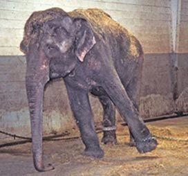 Circus Animal Cruelty. Get involved. Click on elephant for more information.