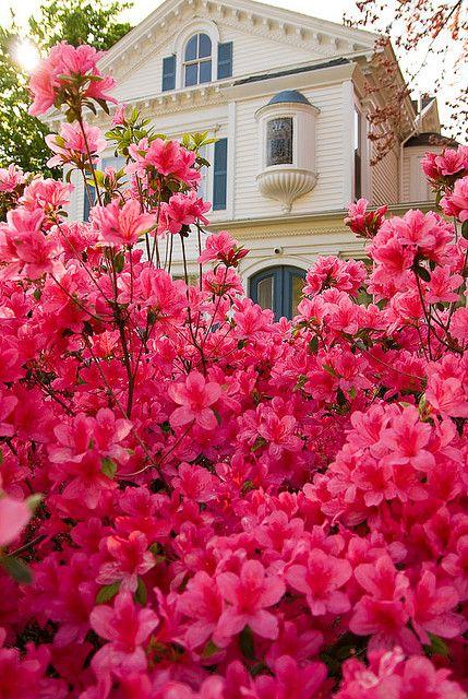 Lovely Flowerbed of Azaleas