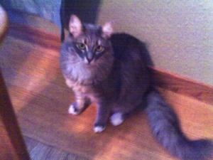 Fuzzy is an adopted Domestic Long Hair Cat in Benicia, CA. Fuzzy is my name, I am a loving, one year old cat, looking for a forever home. I would do best with another cat or small dog, one or more. I ...