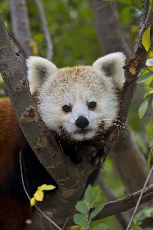red panda (by Official San Diego Zoo)