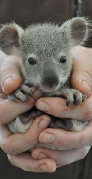 Cute Pet Baby Koala Bear
