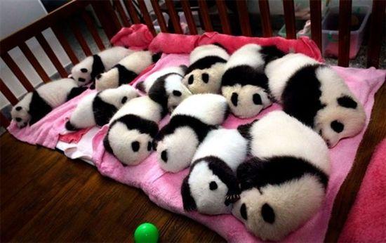 SO MANY PANDAS.