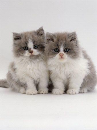 Persian Kittens : twins ?