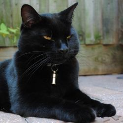 .big black beautiful cat.