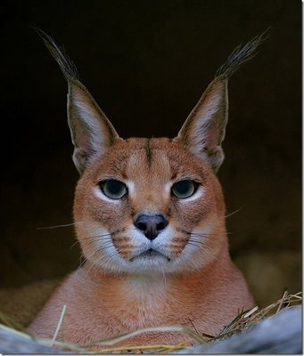 Someone tell me the name of this animal.  Is it a lynx?