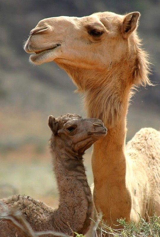 Momma and baby  #camel #animals