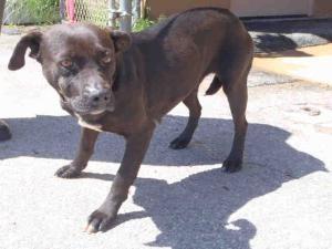DARLA is an adoptable Labrador Retriever Dog in Macon, GA.  ...