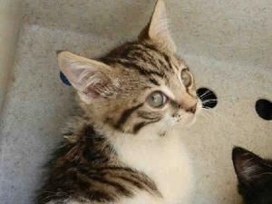 Fel is an adoptable Domestic Short Hair Cat in Woodland, CA. Fel(A117182) is a handsome Fel[low]! He is a 2 month old brown tabby and white. All animals are up-to-date on vaccinations (including rabi...