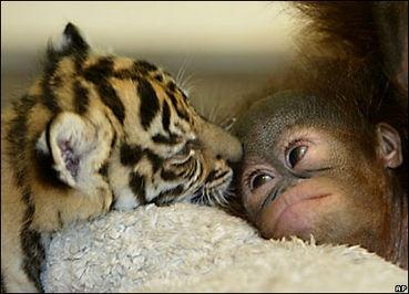 baby tiger and baby orangutan